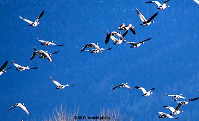 SnowGeese1446WilliamArnold400